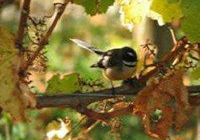 The beautiful Fantail bird